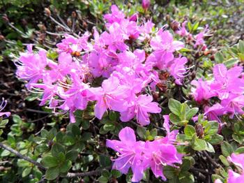 登山道脇に咲くミヤマキリシマ.jpg